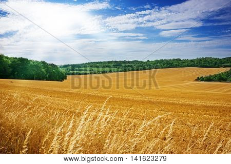 harvested cornfield in midsummer with sunshine and blue sky