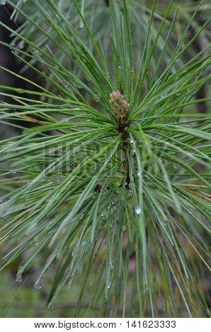 A Green Sprig Of Cedar Closeup.
