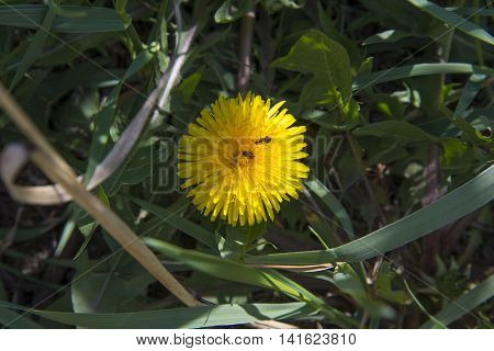 Yellow Dandelion Photographed In Close-up.