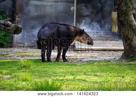A Baird's tapir (Tapirus bairdii), also known as the Central American tapir, stands in profile