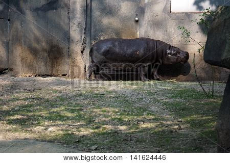 A pygmy hippopotamus (Hexaprotodon liberiensis) stands next to a wall.