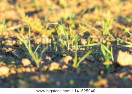 photographed close up young grass plants green wheat growing on agricultural field, agriculture, during the dawn of the sun, defocus