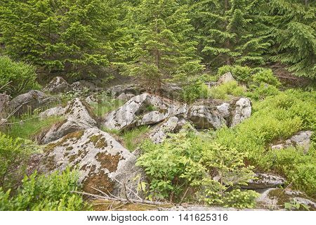 Stones with moss and lichen in forest