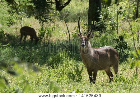 A Male Waterbuck (kobus Ellipsiprymnus) Standing In A Sunny Glade