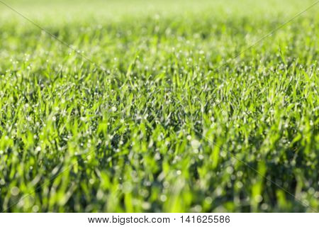 photographed close up young grass plants green wheat growing on agricultural field, agriculture, autumn season, defocus