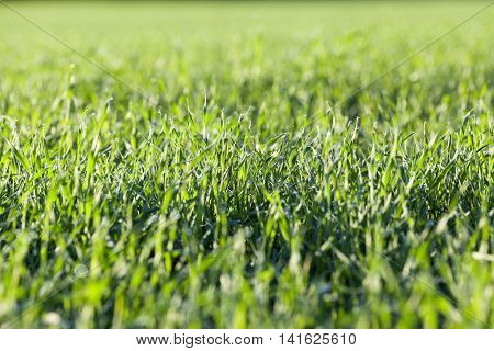 photographed close up young grass plants green wheat growing on agricultural field, agriculture, morning dew on leaves,