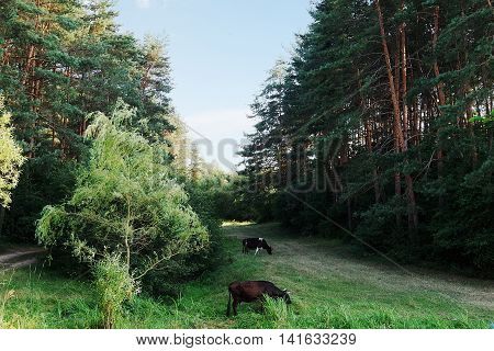 Cows graze in the forest on the lawn