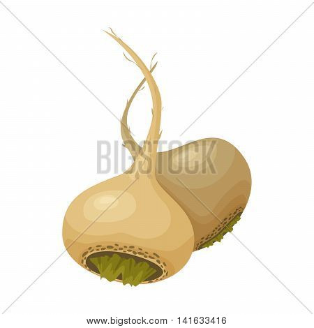 Vector illustration of two roots of peruvian maca or lepidium meyenii. Isolated on white background. Healthy organic nutrition.