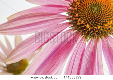 The purple coneflower on a gray background