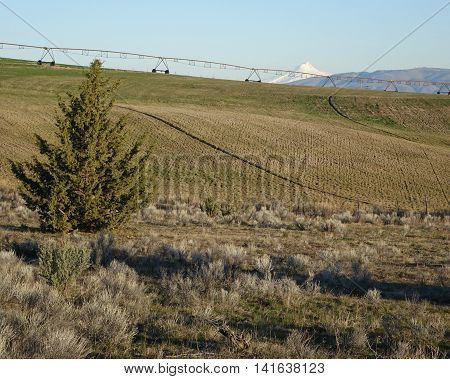 Morning light shines on a farm and its wheel line as well as Mt. Jefferson and a juniper tree.