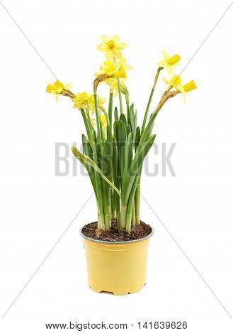 Yellow narcissus flower in a pot, composition isolated over the white background