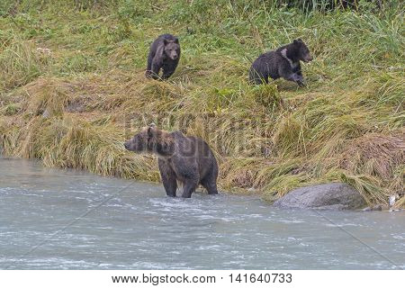 Bear Cubs Playing while Mom is Fishing along the Chilkoot River in Alaska