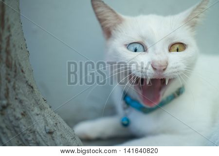 Closeup White Turkish Angora cat with heterochromia eyes yawning over mint background