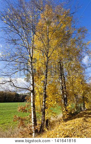 photographed close-up of yellow leaves on the birch tree in autumn season