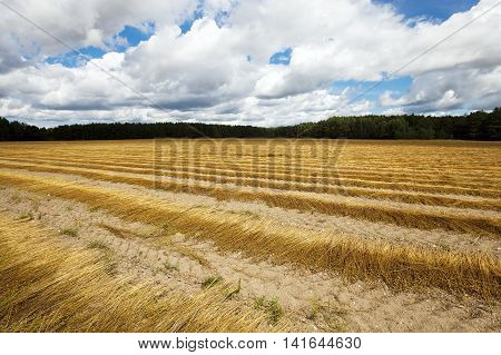 Agricultural field on which flax is harvested. autumn.