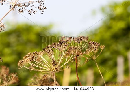 photographed close-up of ripe seeds of dill, a small depth of field