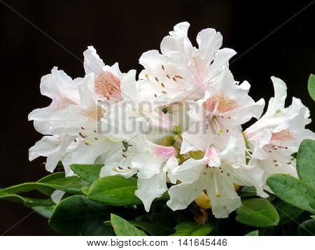 White Azalea flower in South Bethany Delaware 6 May 2016 Usa