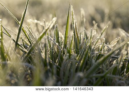 photographed close up young grass plants green wheat growing on agricultural field, agriculture, morning frost on leaves