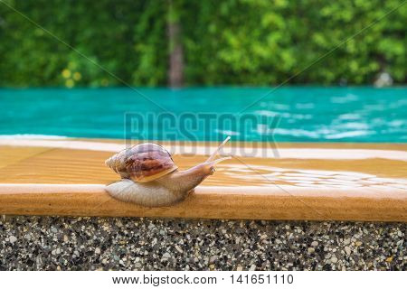 snail beside the swimming pool in raining day.