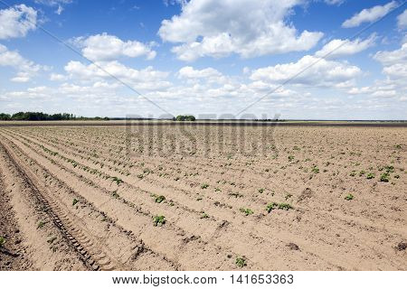 po agricultural field on which grows green potatoes, spring, blue sky