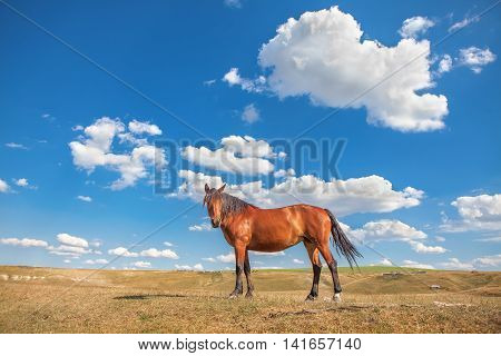 beautiful brown horse and blue sky with clouds on background
