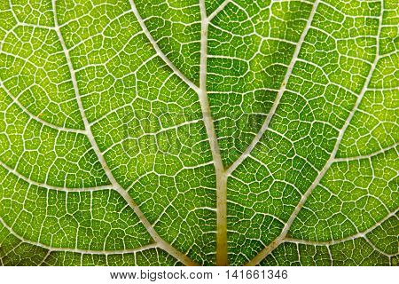 Leaf abstract background texture with veins texture