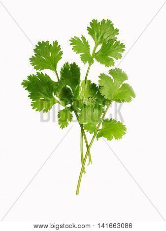 fresh leaves of cilantro (coriander) isolated on white background