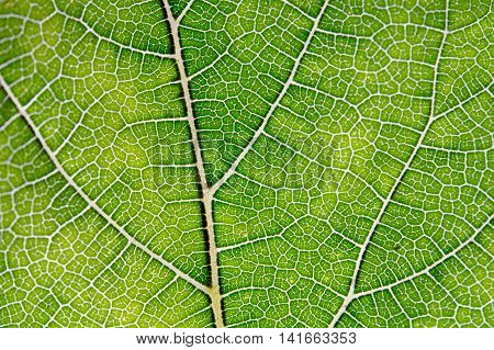 Leaf abstract background texture with vein texture