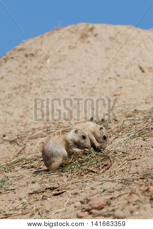 Two Young Black-tailed Prairie Marmot (cynomys Ludovicianus)