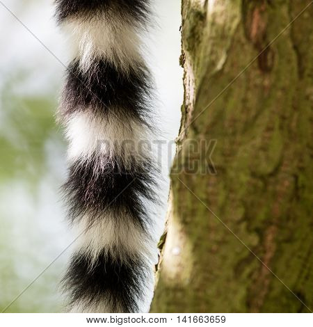 Close Up Of A Ring-tailed Lemur Tail Texture