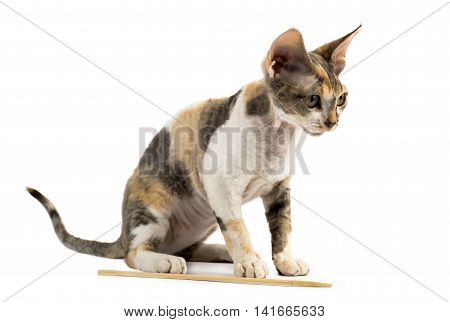 Kitten Devon Rex sitting on white background