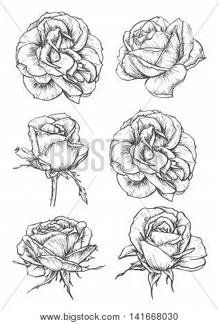 Blooming rose sketches of luxurious flower and tight bud with thorny stem and carved leaf.