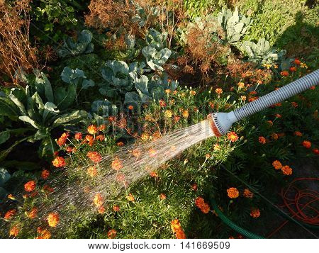 Watering the garden with a hose flowers, spray, growth, wet, fountain