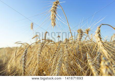 Harvest Bread in spikelets of wheat in the field.