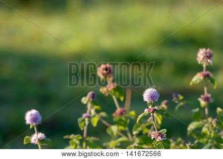 Closeup of the pinkish to lilac colored flower of a water mint plant in the foreground in its own damp habitat in a Dutch nature reserve in early summer sunlight.