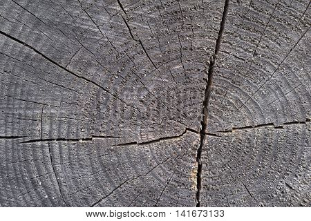 wooden transverse texture with cracks on the old stump closeup for a natural abstract background of gray color