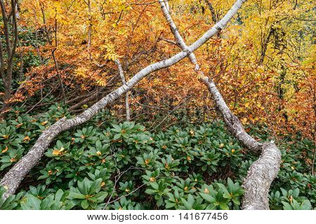 Beautiful autumn trees in the deciduous forest. The curved trunks of birch and rhododendron bushes