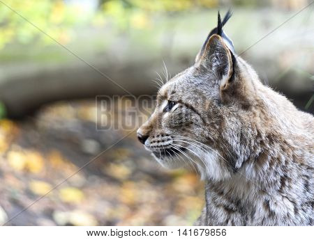 Wild lynx or bobcat in the forest. Close-up shot with copy space.