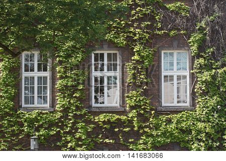 Old Window Entwined With Wild Grapes In The Summer