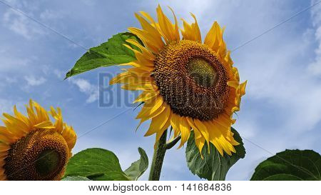 Sunflowers in the wind with blue sky