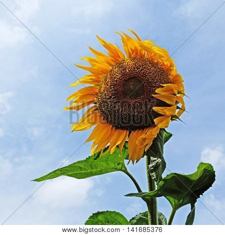 Sunflower in the wind with nice blue sky