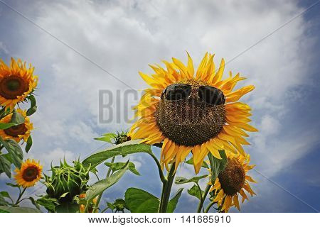 Sunflower with sunglasses with cloudy blue sky