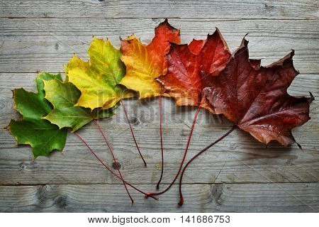 Autumn Maple leaf transition and variation concept for fall and change of season