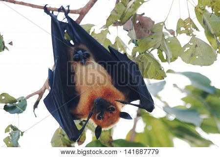 Lyle's flying fox (Pteropus lylei) is a species of flying fox in the family Pteropodidae. It is found in Cambodia Thailand and Vietnam.
