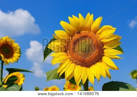 Sunflower field. Sunflower with blue sky and clouds. Summer background, bright yellow sunflower over blue sky. Landscape with sunflower field over cloudy blue sky. Bee on the sunflower
