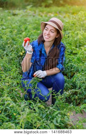 Young farmer harvesting tomatoes. Woman in her garden harvesting tomatoes. Happy young girl with tomato. Harvesting