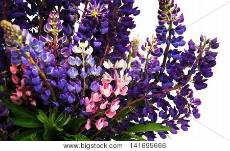 Lupine Flowers Isolated