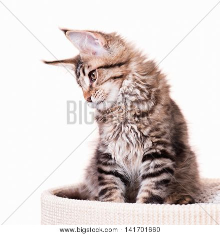 Portrait of domestic black tabby mackerel Maine Coon kitten - 3,5 months old. Cat isolated on white background.
