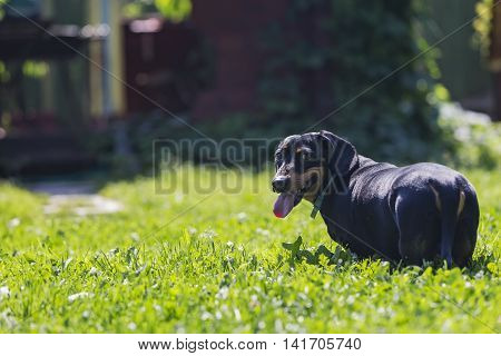 Portrait of a dachshund on green grass background front view.