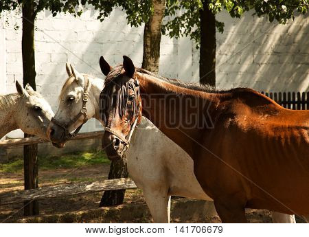 Three horses in the breeding yard in Pentowo Podlasie in Poland summer. Horizontal view.